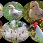 Küken Entwicklung - Von der ersten Feder bis zum ersten Ei