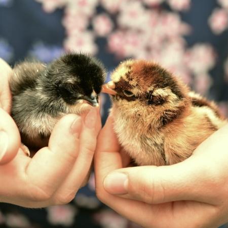 Wann dürfen Küken zu den anderen Hühnern?